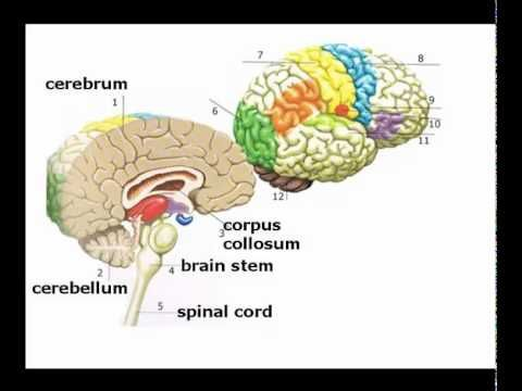 an introduction to the three layers of the brain Overview of physical architecture the upper three layers (closer to the cortical surface) are called the supragranular layers (i-iii) and are functionally distinct from the lower two layers (v-vi), which are called the infragranular layers.