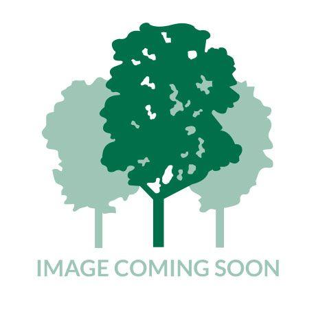 Sophora longicarinata - Kowhai   Southern Woods