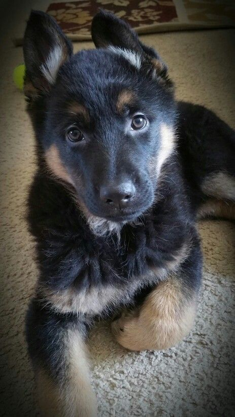 8 Week Old German Shepherd puppy - Rex