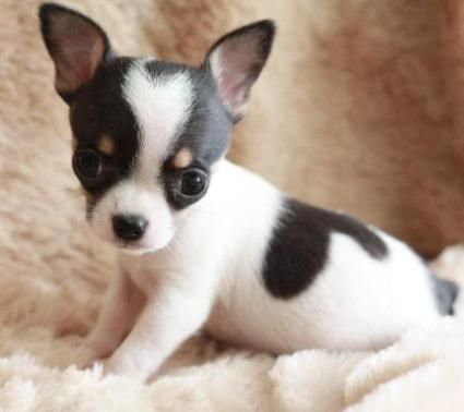 Chihuahua...this is what Nev & Stella's first puppy looks like, can't wait to bring her home in 2 weeks!