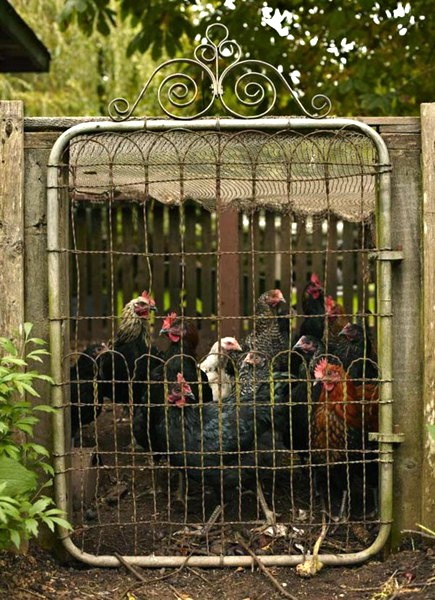trukeys, chickens, garden gate, country life