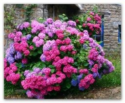 Голубая и розовая гортензия: секреты садоводов - Садоводка