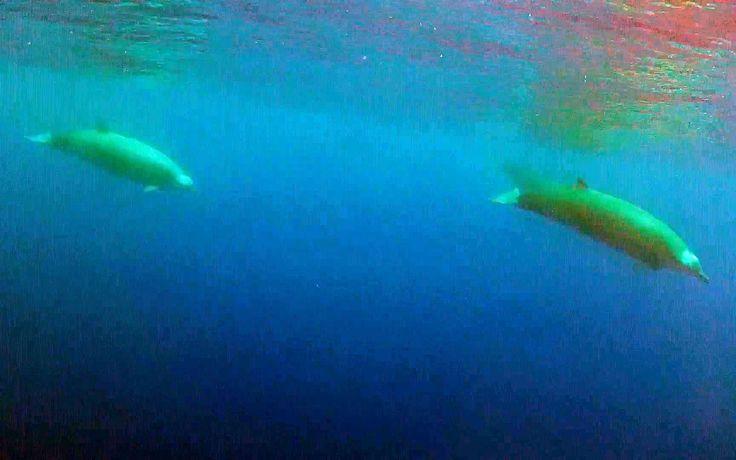 Une baleine à bec de True, alias Mesoplodon mirus.  Cette très rare baleine à bec a été filmée en Macaronésie (les Açores, les Canaries, Madère et le Cap-Vert).  Madère? www.casadomiradouro.com ou www.madeircasa.com