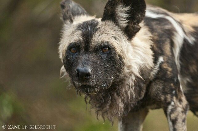 The beautiful yet highly endangered Wild dog taken in South Africa