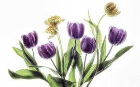 Обои листья, бутоны, тюльпаны, белый фон