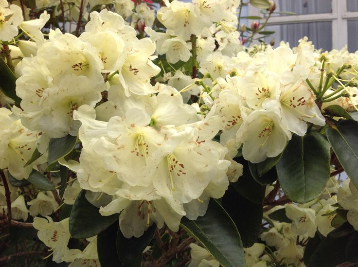 "Rhododendron ""Honeymoon"""