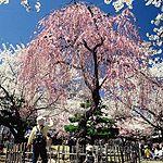 桜まつり、小諸市の懐古園、長野(小諸八重紅枝垂れ) Kaiko garden's Sakura Festival at Komoro, Nagano, Japan.  English link  http://japan-attractions.jp/nature/komoro-joshi-kaiko-en-sakura-matsuri-2015/