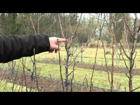 17 meilleures id es propos de arbres fruitiers sur pinterest jardin plant de fruits - Quand tailler les abricotiers ...