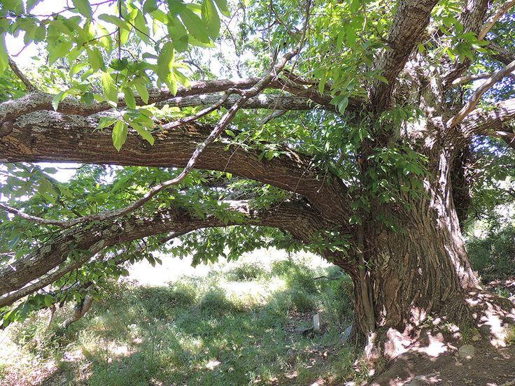 Tronco de castaño de 300 años. http://www.elhogarnatural.com/Arboles.htm