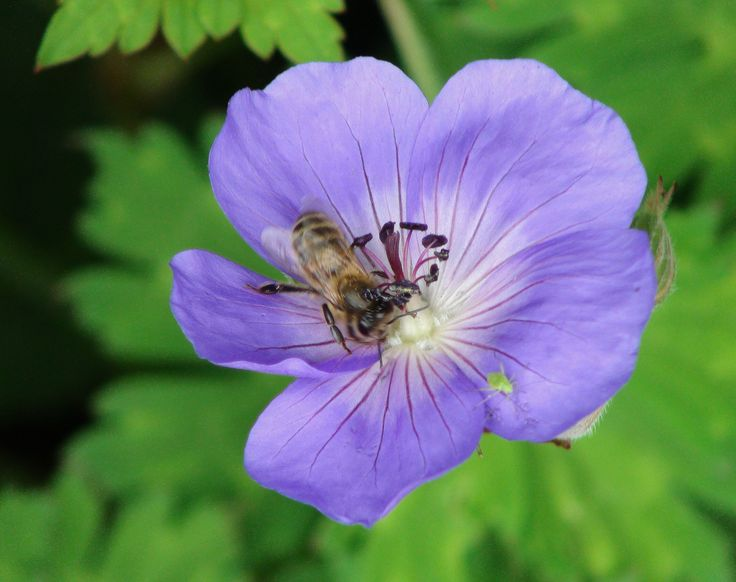 a Geranium known as 'Johnson's Blue' with a busy little resident of Bryngwyn Gardens
