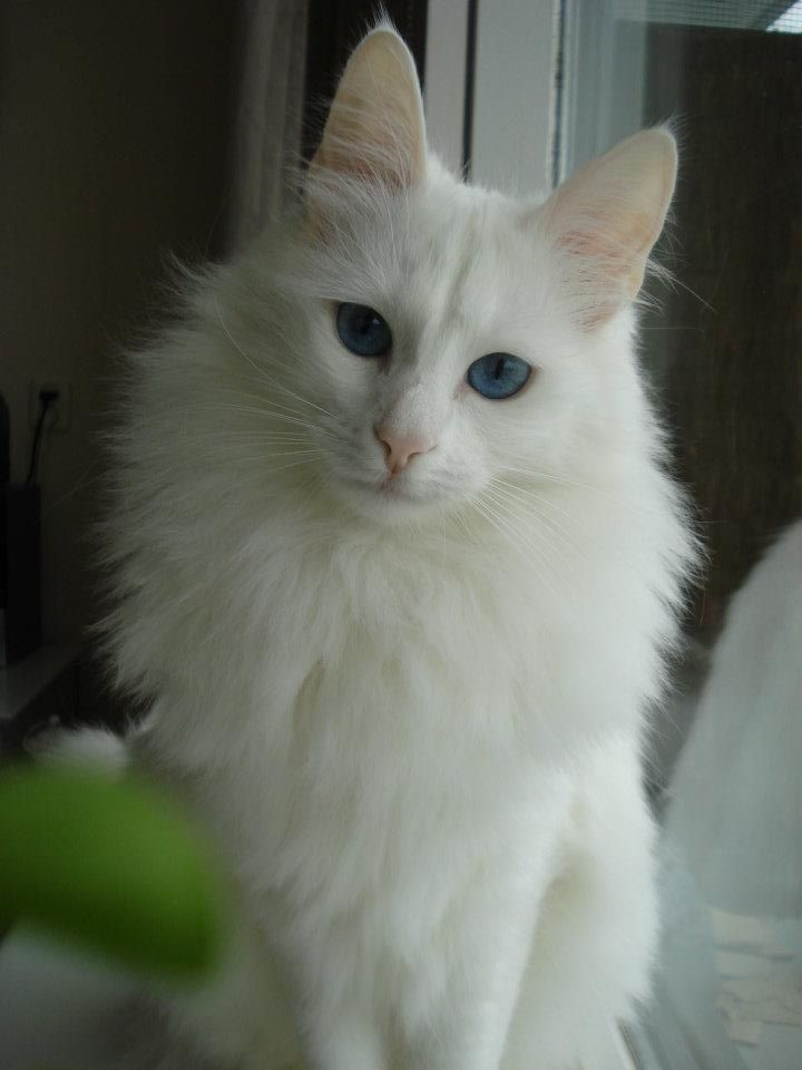 Beautiful White Turkish Angora Cat Mascotas Angora Cats Turkish