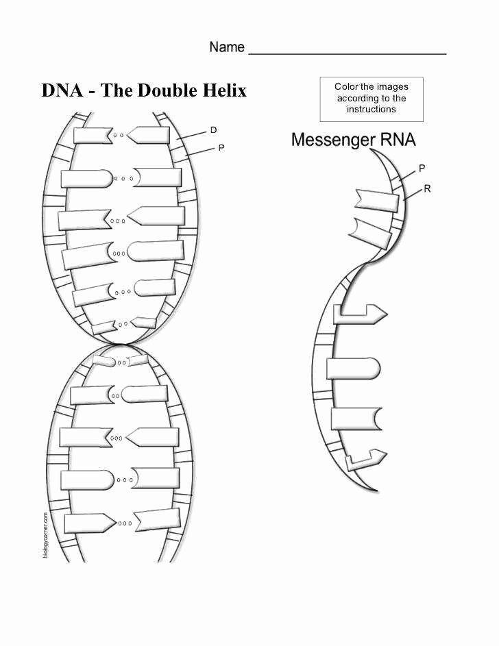 Dna The Double Helix Worksheet Answer Key Biology Corner