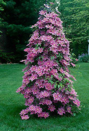 Pink clematis vine growing up and overtaking garden lamp