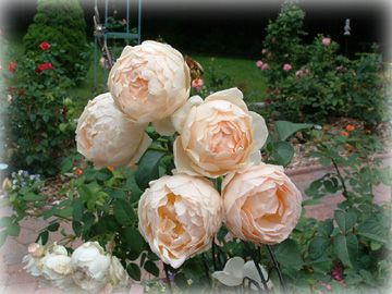Jude the Obscure Rose  David Austin, HeirloomRoses.com