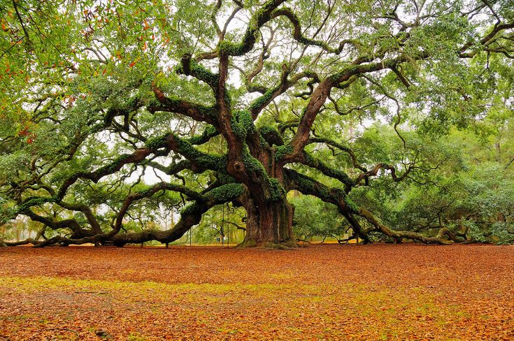 The Angel Oak is a Southern live oak tree located in Angel Oak Park, in Charleston, South Carolina, on Johns Island, one of South Carolina's Sea Islands. It is estimated to be in excess of 1500 years old[citation needed], stands 65 ft (20 m) tall, measures 28 ft (8.5 m) in circumference, and shades with its crown an area of 17,000 square feet (1,600 m2). Its widest crown spread point-to-point is 180 ft, which is longer than any other live ... #treehugger  #savetheplanet #ecofriendly…