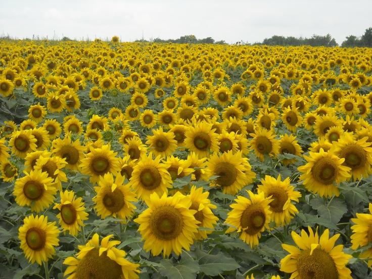 Sunflower field between Paris TX and Bonham TX. Texas