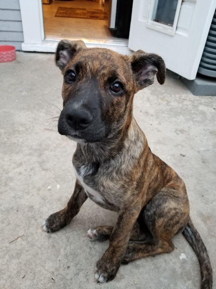 Here's Sophie, my boxer/ shepherd  mix