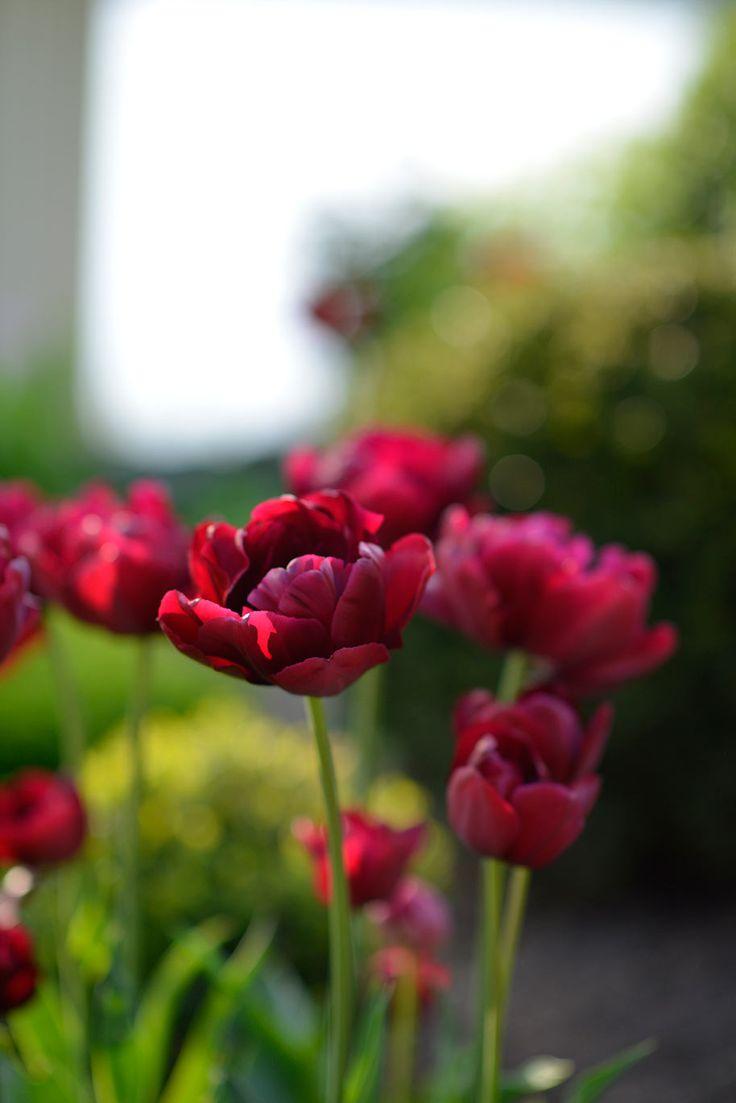 Tulipa 'Antraciet'  I  Victoria Skoglund
