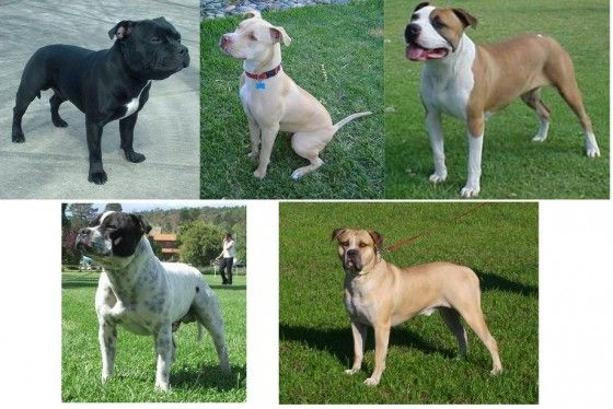 Top 10 Misconceptions About Pit Bulls: Pitbull