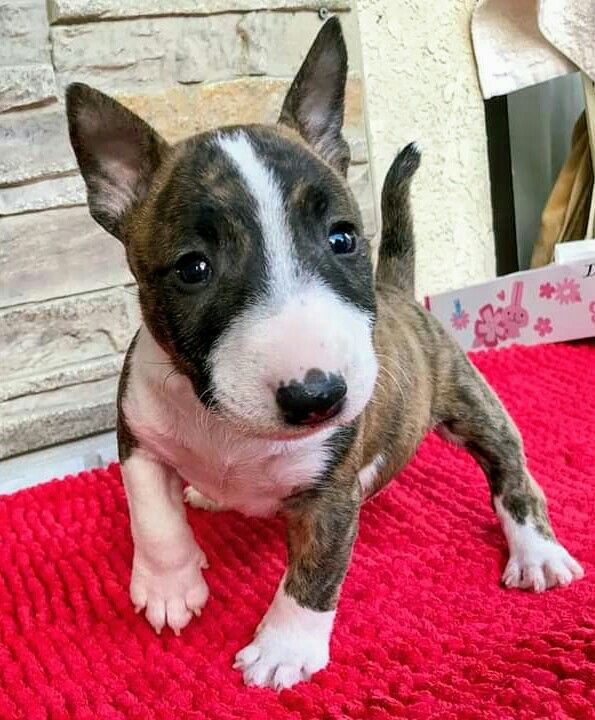 Pin By Paige Tyler On Bull Terriers Mini Bull Terrier Puppies