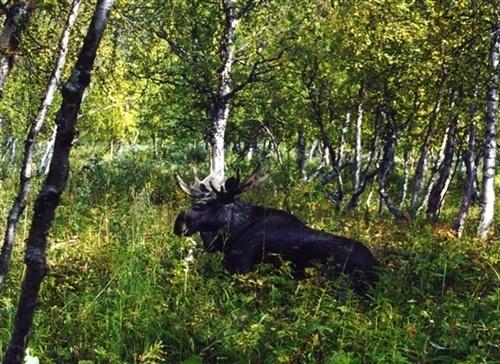 Moose in Rapadalen, by: Peter Rijs. Tags: #moose #rapadalen #sarek