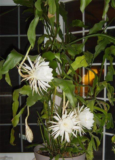"""NOMBRE CIENTIFICO: Epiphyllum oxypetalum OTROS NOMBRES: Español: """"Novia de la noche"""" o """"Enamorada de la noche"""" """"Dama de noche""""     * En..."""