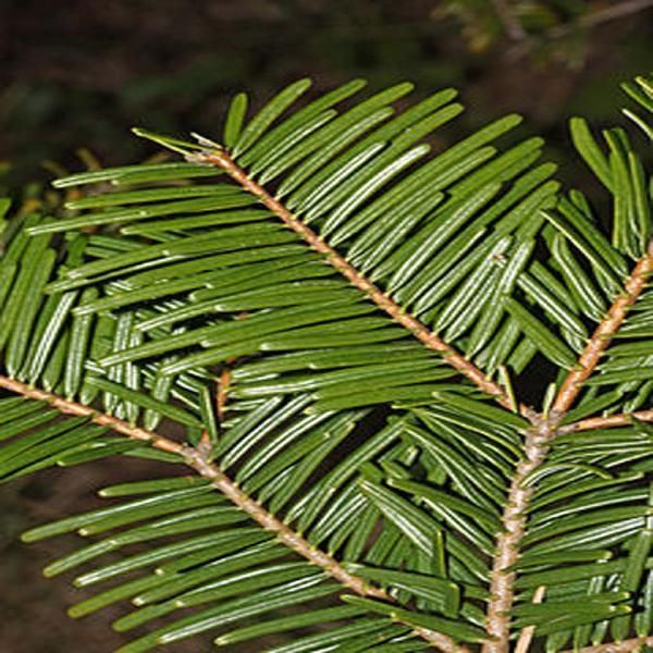 rand Fir Needle  Abies grandis USA Wildcrafted  Distilled by The Essential Oil Company from wild crafted material, harvested in the pristine Coastal Range of the Cascade Mountains.