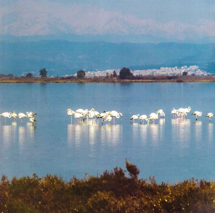 Amvrakikos gulf – Αμβρακικός κόλπος, flamingo
