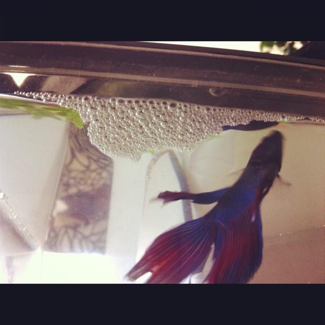 Male Betta fish makes ...