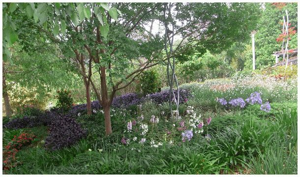 How beautiful is this woodland with its Tropical Birches under planted with swathes of purple spikes, pink and white Aquiliga and Foxgloves.  Familiar Agapanthus and yellow and burnt orange Daylilies are found here too, to give the planting some zing.