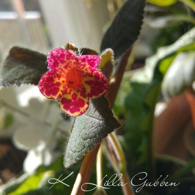 Kohleria Lilla Gubben - Own Growing