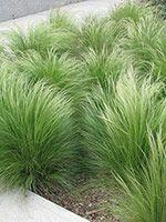 Finestem needlegrass (Nassella tenuissima)      Also called Mexican feathergrass
