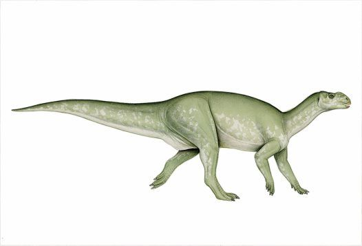 Muttaburrasaurus was a large, plant-eating ornithopod from the Early Cretaceous of eastern Australia. It is one of the most complete dinosaurs from Australia - only Minmi is more complete - and the first to be cast and mounted for display. Muttaburrasaurus had an unusual skull with a long, rounded snout that had a hollow internal chamber, perhaps to increase the volume of its calls or enhance its sense of smell