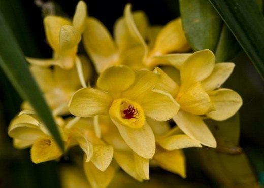 Орхидеи Дендробиум. Уход, выращивание, размножение. Виды. Фото - Ботаничка.ru