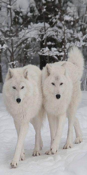 White Wolves ... together ... looking beautiful. http://media-cache-ec0.pinimg.com/originals/db/09/ba/db09ba1f08cb34a070a07b2f7e67a721.jpg