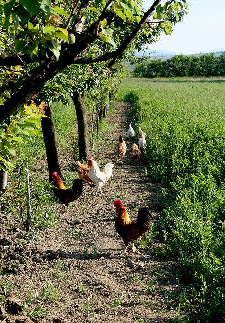 Chickens on the run