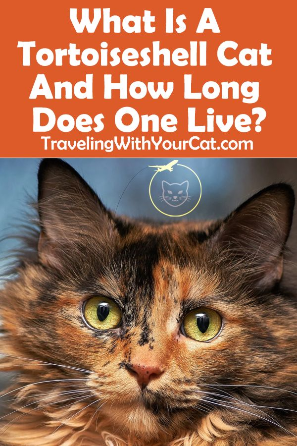 What Is A Tortoiseshell Cat And How Long Does One Live