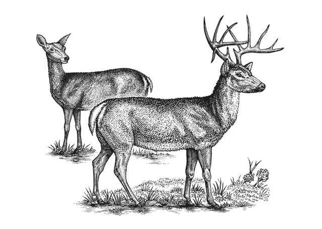 Deer illustration black and white - photo#54