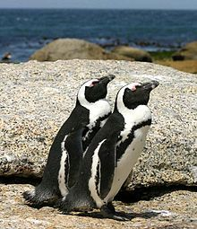 """The African Penguin (Spheniscus demersus), also known as the Jackass Penguin and Black-footed Penguin is a species of penguin, confined to southern African waters. It is also widely known as the """"Jackass"""" Penguin for its donkey-like bray, although several related species of South American penguins produce the same sound."""