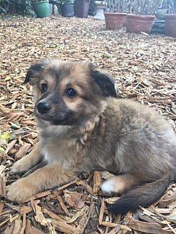 Rancho Santa Margarita, CA - Pomeranian/Chihuahua Mix. Meet Pepin, a puppy for adoption. https://www.adoptapet.com/pet/19659992-rancho-santa-margarita-california-pomeranian-mix