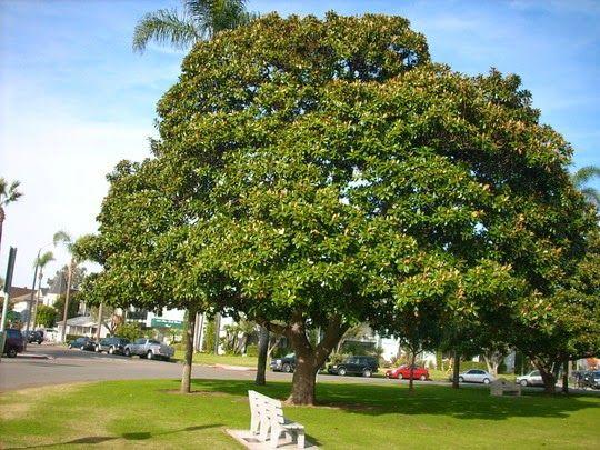 17 best ideas about arboles para jardin on pinterest - Magnolia grandiflora cuidados ...