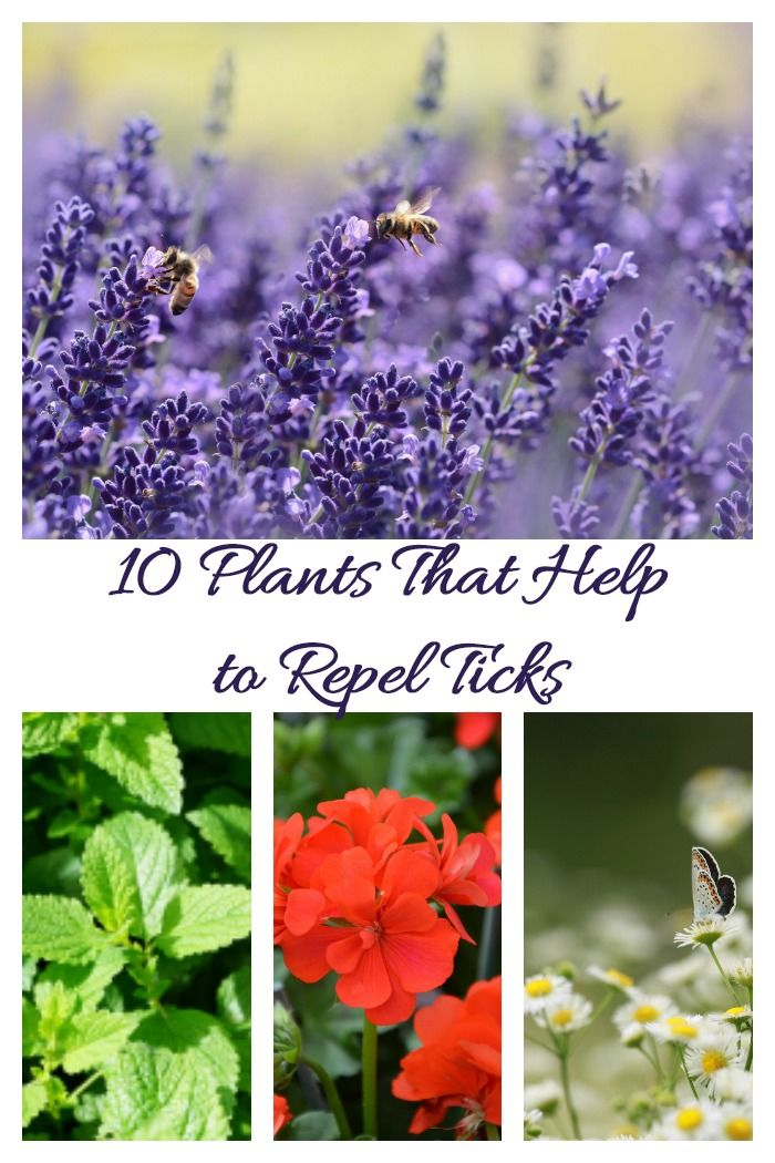 How To Get Rid Of Ticks In The Yard Steps To A Tick Free Garden Get Rid Of Ticks Plants That Repel Bugs Plants