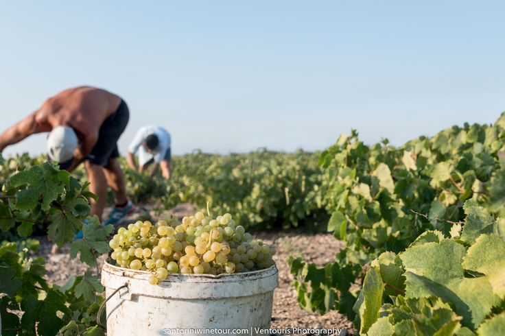 #Vedema - #GrapeHarvest in August
