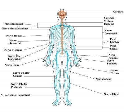 Sistema Nervoso. Meu sistema nervoso emite poderosas frequências douradas e violeta, de informações maravilhosas e profundas de perfeição que vem do Amor Cósmico Universal, num fluxo contínuo, inundando todos os  centros energéticos, comunicando e sendo comunicado em Luz.