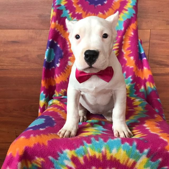 Dogo Argentino puppy for sale in QUARRYVILLE, PA  ADN-67991
