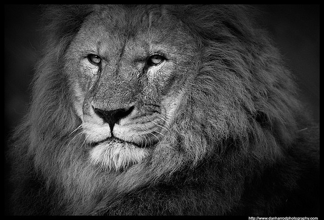 I'm the boss ... And I know it!: Photos, Wild Cat, White Study, Beautiful Animal, Animal Kingdom, African Lion, Black And White, Dan Harrods, Beautiful Things