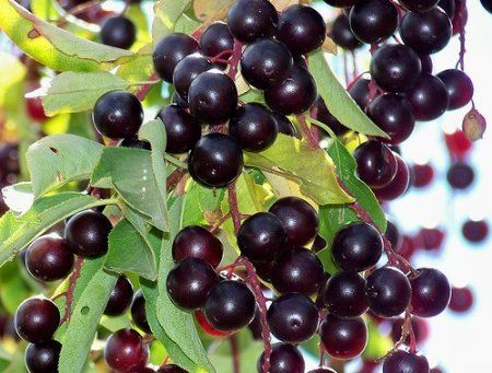 TreesAgain Potted Chokecherry Tree  Prunus virginiana 16 to 24 inches * Click on the image for additional details.