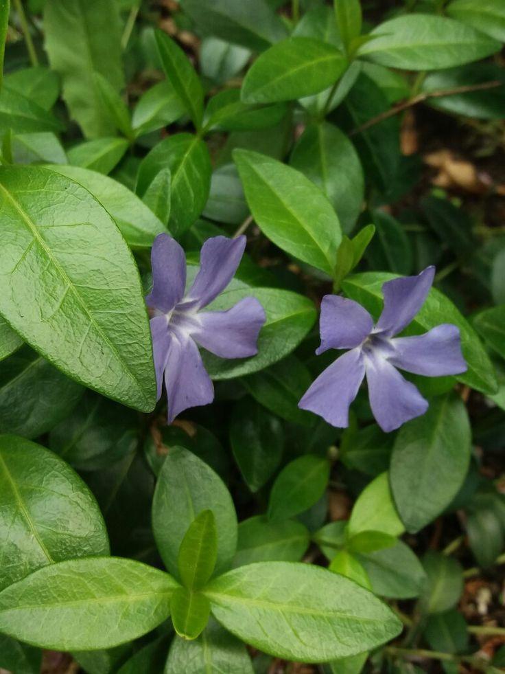 Název - Barvínek ( Vinca ) Místo focení - Naše zahrada