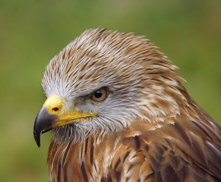 Buse, Oiseau De Proie, Zoo De, Nature, Sinistre