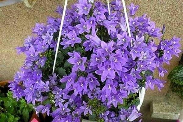Ha gyönyörű virágokat szeretnél, ezt a házi műtrágyát alkalmazd és nem hiszel majd a szemednek!